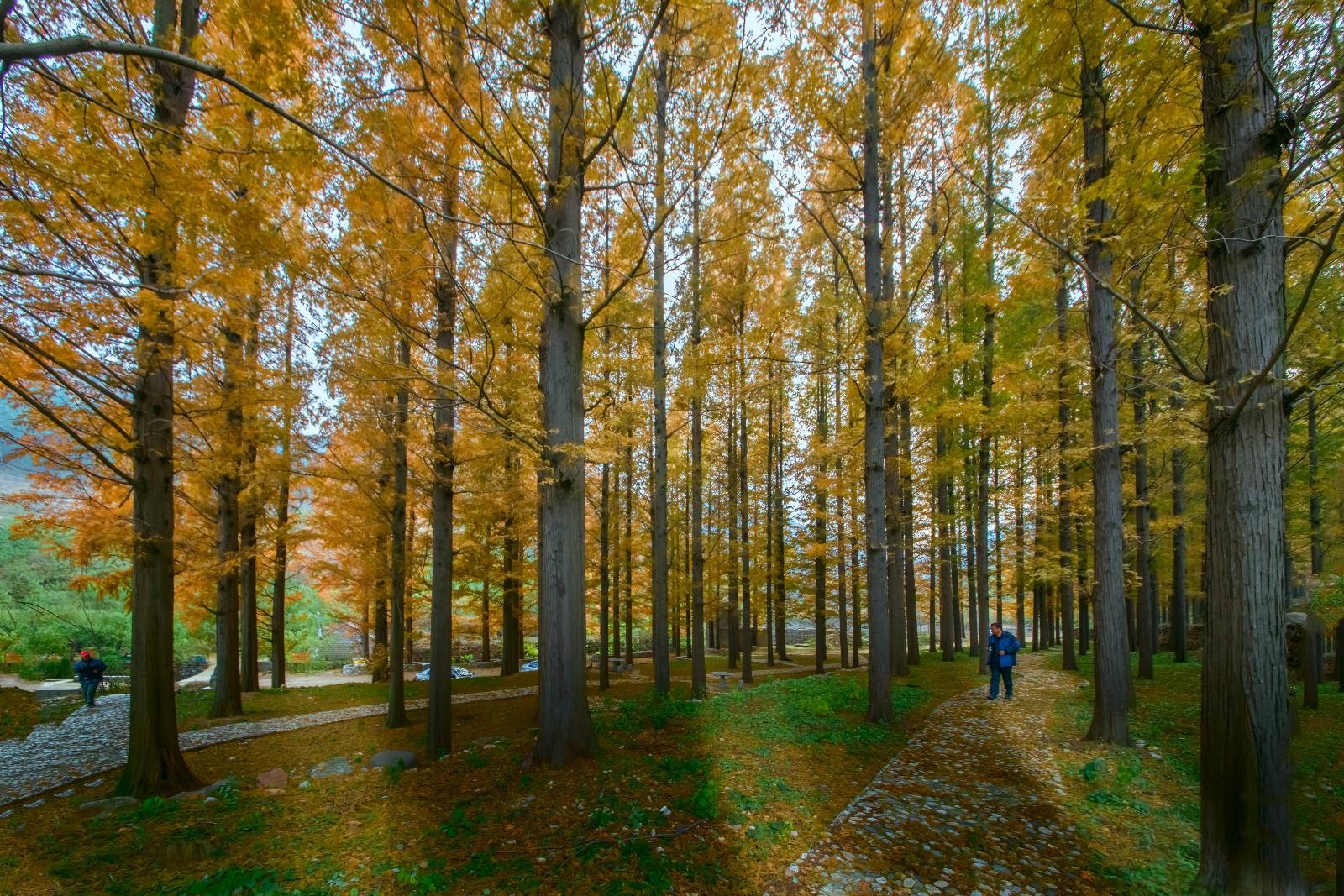 壁纸 风景 森林 树 桌面 桦林 桦树 1600_1067